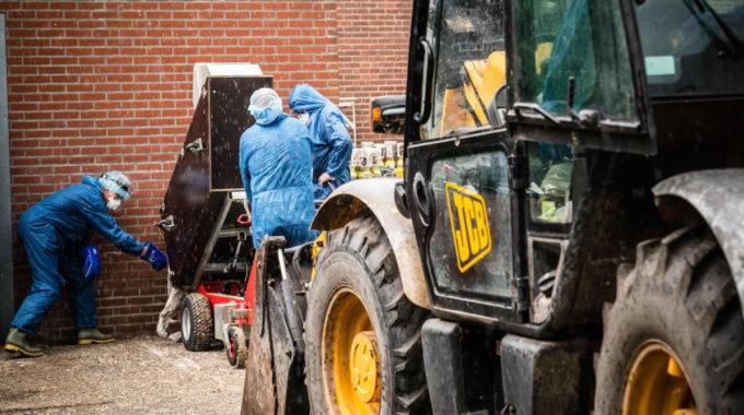 Un millón de visones sacrificados en Holanda y España en medio de los estragos de la cría de pieles Covid-19