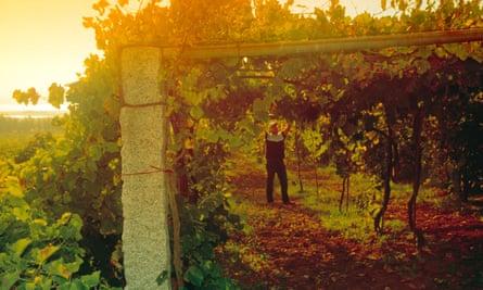 Científicos descifran el misterio de cómo surgió el preciado vino albariño de España