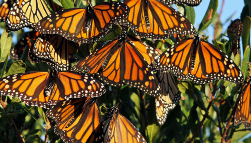 Miles de mariposas monarca finalmente llegaron a México