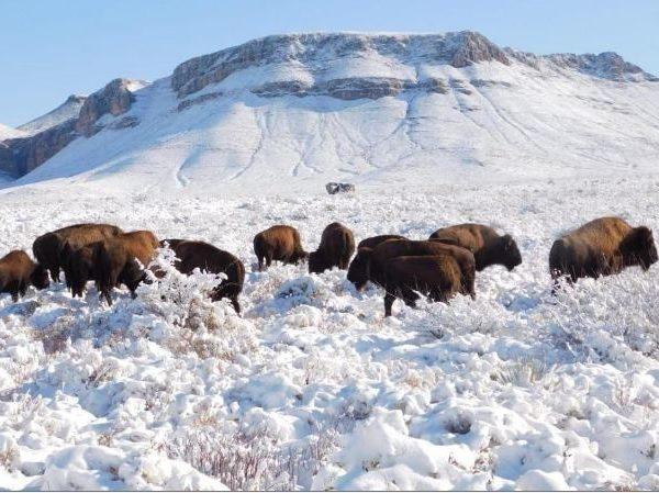 Surgen preocupaciones sobre la caza después de la reintroducción del bisonte en el norte de México